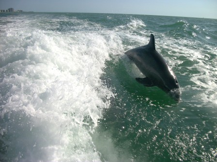 Dolphin in wake close up picture